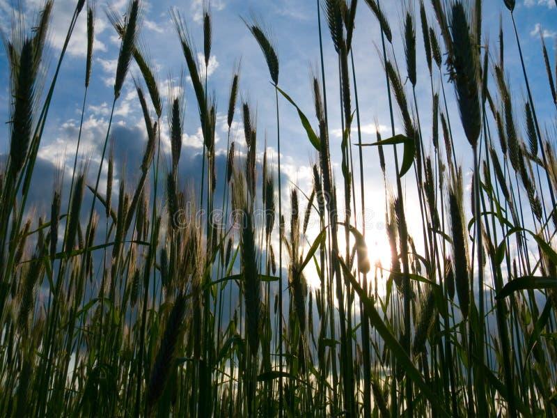 Coucher du soleil au-dessus de la zone de blé photographie stock
