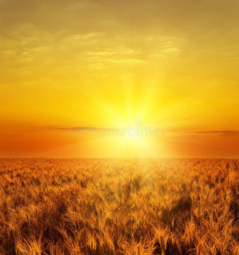 coucher du soleil au-dessus de récolte d'or de couleur image stock