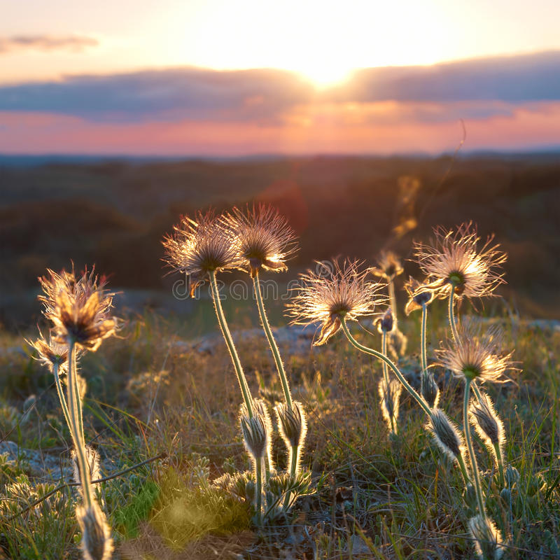 Coucher du soleil avec les fleurs deflorated photo stock