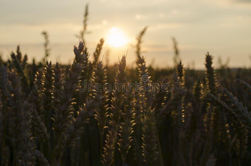 Coucher du soleil d'été, transitoires de champ de blé photos stock