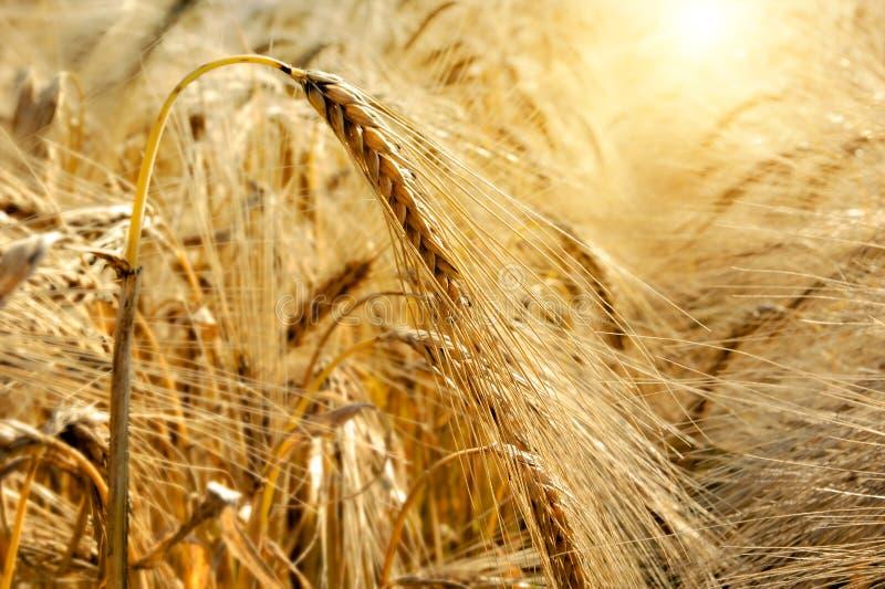 Coucher du soleil d'or au-dessus de zone de blé image libre de droits