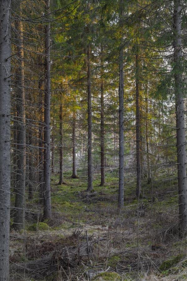 Coucher du soleil dans la forêt de sapin en Carélie image libre de droits