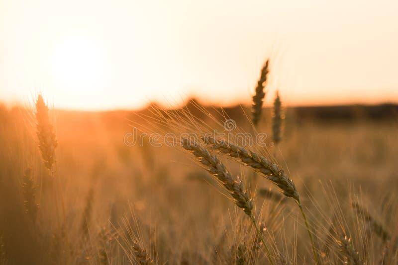 Coucher du soleil dans le domaine avec du blé photo stock