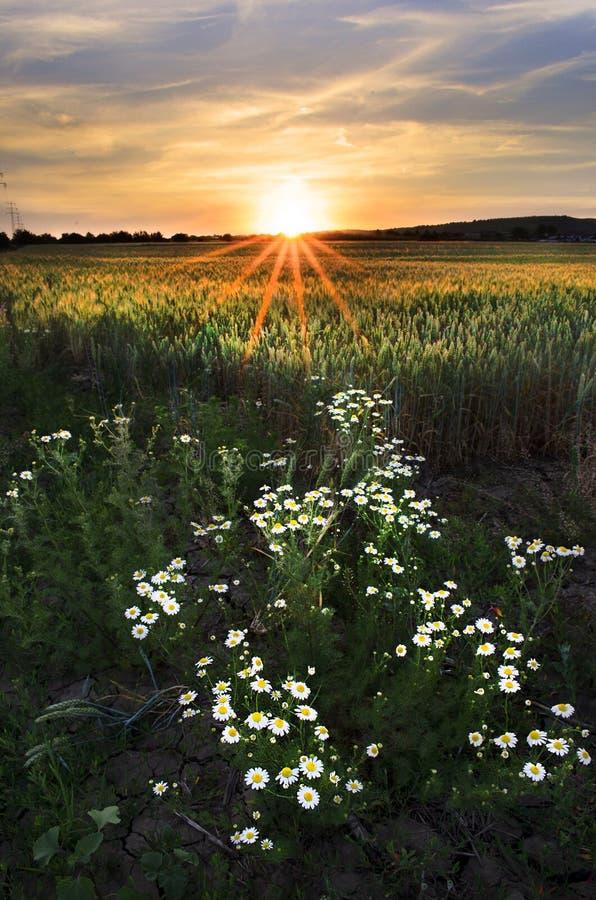 Coucher du soleil dans le domaine de blé et les fleurs blanches images libres de droits