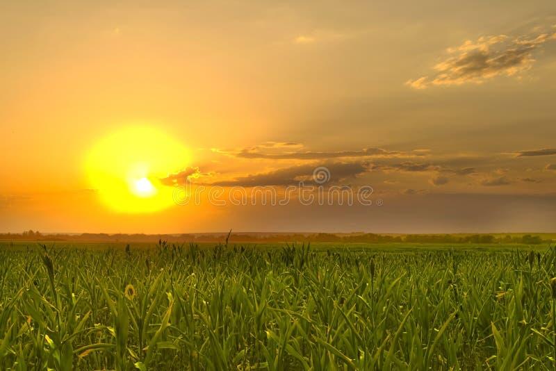Coucher du soleil dans un champ de maïs image libre de droits