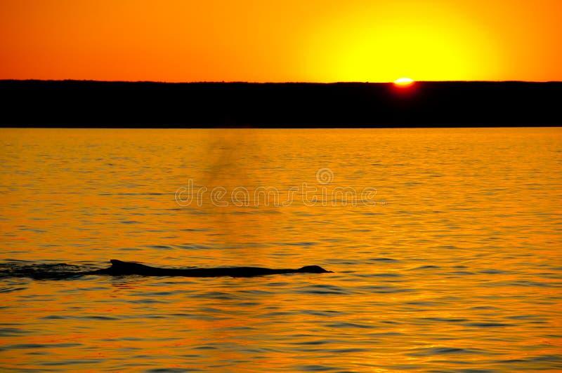 Coucher du soleil de baleine de bosse photos stock