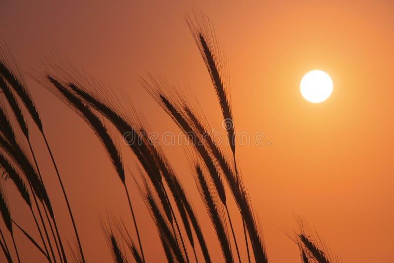 Coucher du soleil de champ de blé photographie stock libre de droits