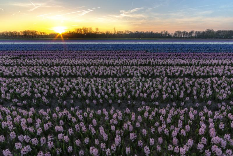 Coucher du soleil de champ de jacinthe photos stock