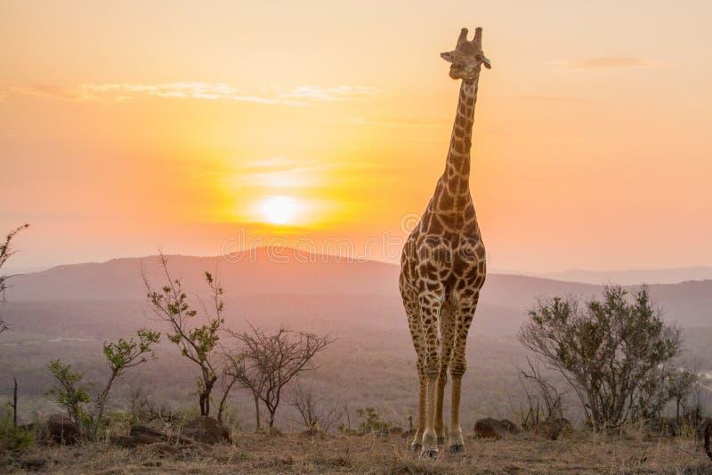 Coucher du soleil de girafe photo libre de droits