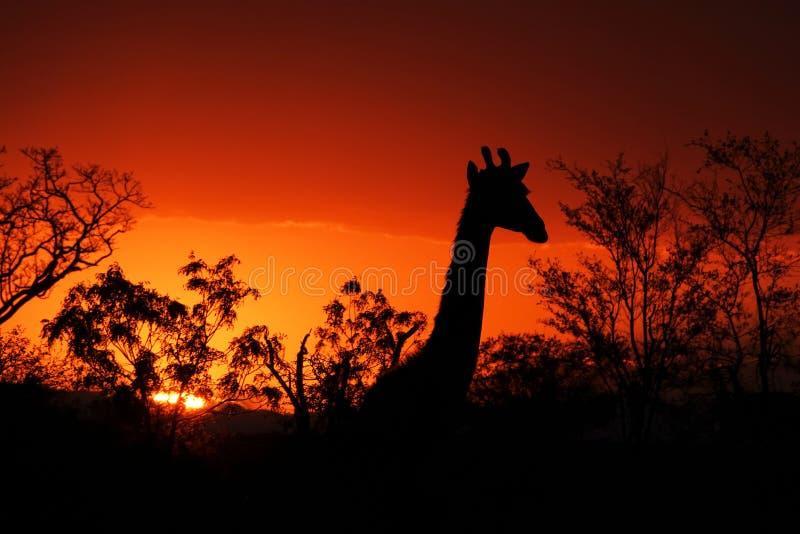 Coucher du soleil de Kruger avec la girafe photos stock