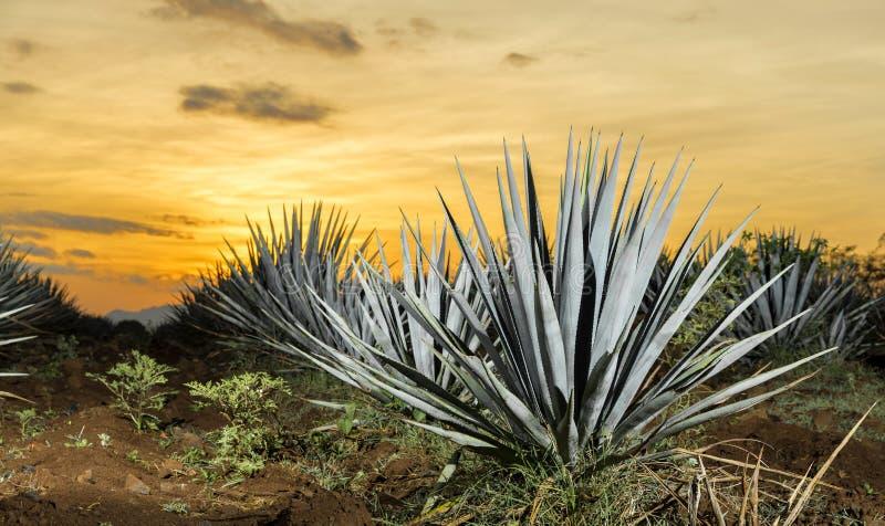 Coucher du soleil de lanscape d'agave de tequila photos libres de droits