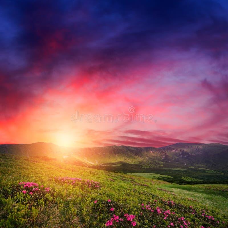 Coucher du soleil de montagne avec des fleurs de rhododendron dans l'herbe photo libre de droits