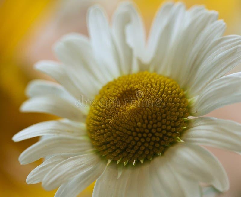 Coucher du soleil de soirée de marguerite blanche photographie stock
