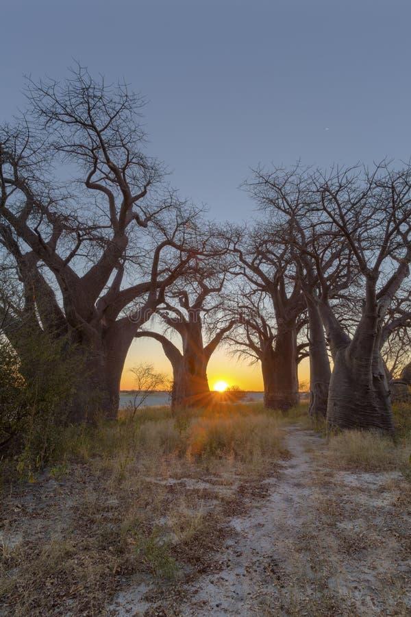 Coucher du soleil de starburst de Sun au ` s de Baines Boabab photographie stock