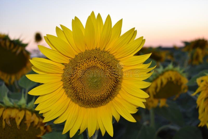 Coucher du soleil de tournesol image stock
