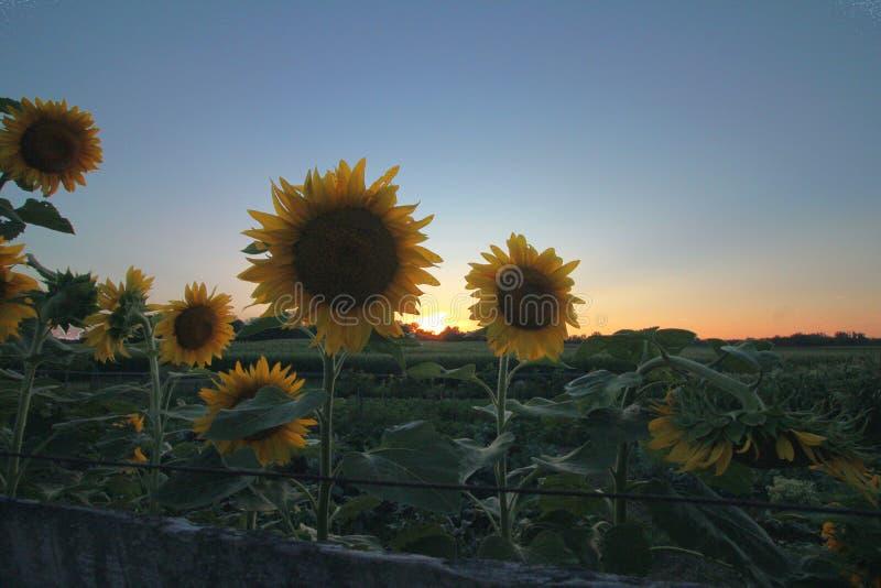 Coucher du soleil de tournesol photos libres de droits