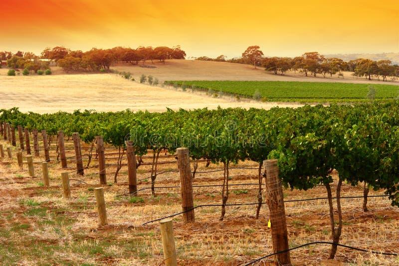 Coucher du soleil de vigne de Barossa photographie stock