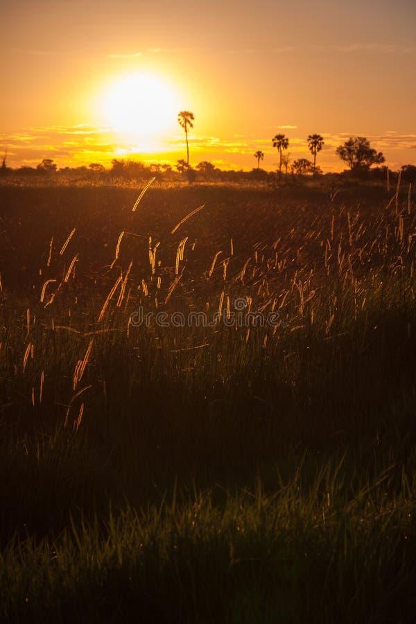 Coucher du soleil derrière l'herbe et les arbres en Afrique image stock