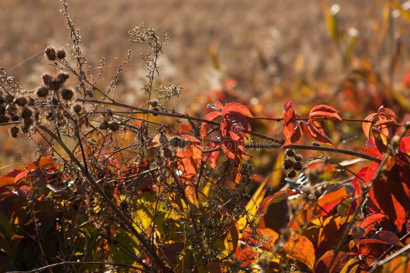 Coucher du soleil et herbes sauvages Lumière du soleil par le feuillage rouge de lierre cinq-leaved Feuilles jaunes, rouges, vert photographie stock