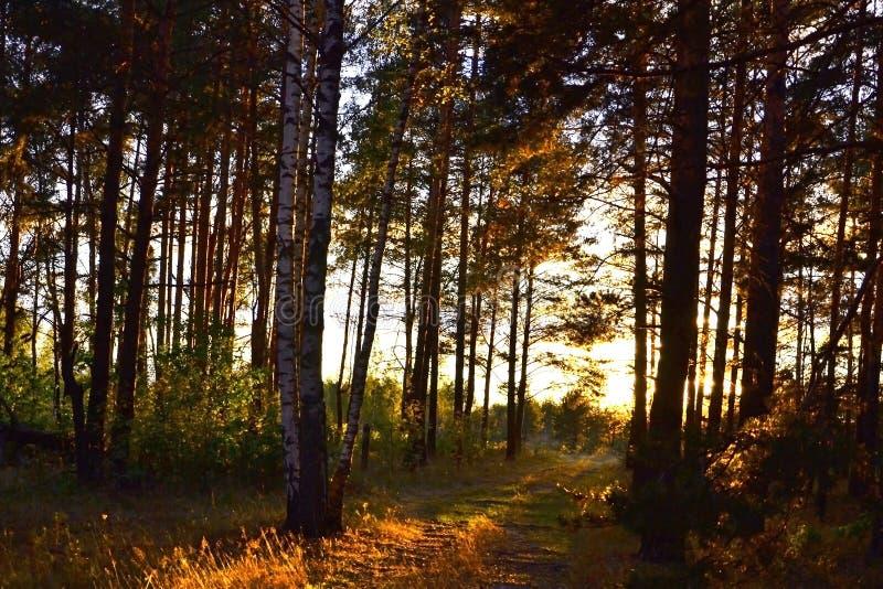Coucher du soleil lumineux dans la forêt photos stock