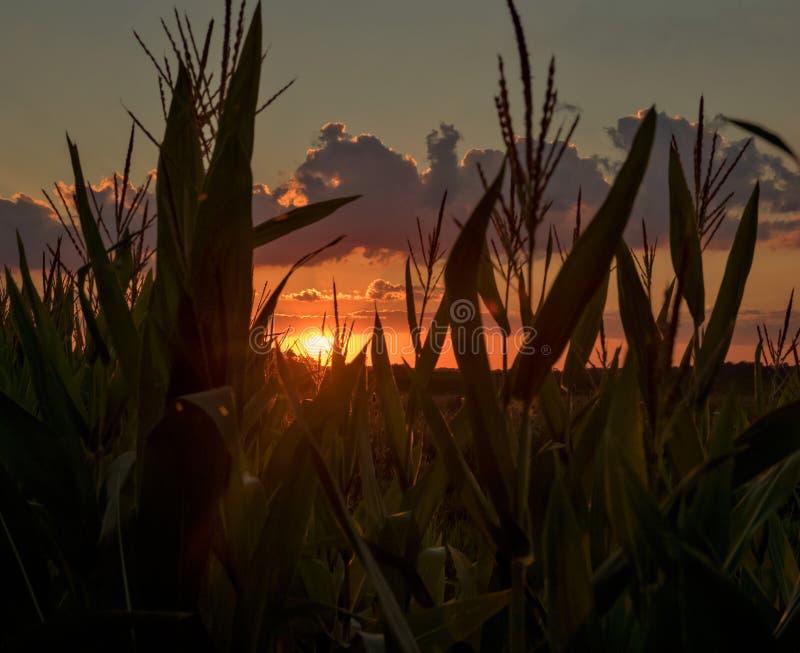 Coucher du soleil regardant par le champ de maïs photographie stock