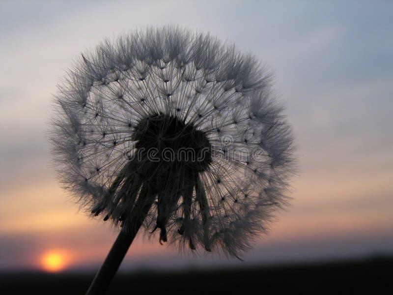 Coucher du soleil romantique de pissenlit photo libre de droits