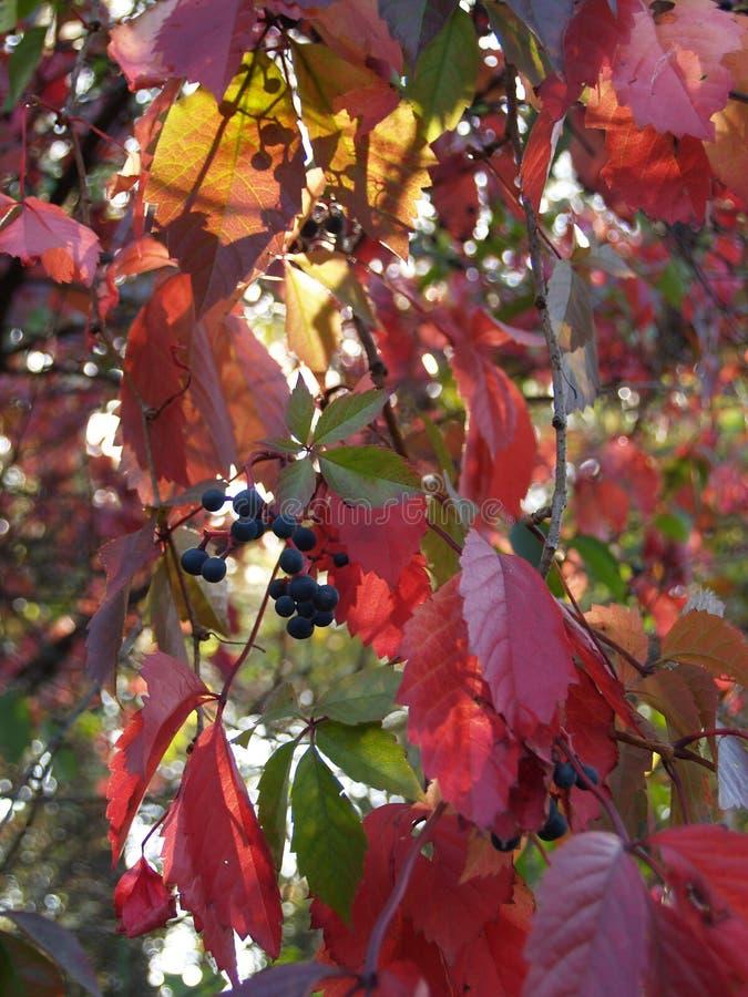 Coucher du soleil sauvage d'automne de raisins photo libre de droits