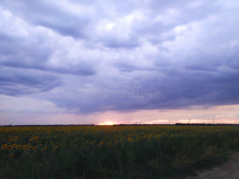 Coucher du soleil sur The Field avec des tournesols images libres de droits