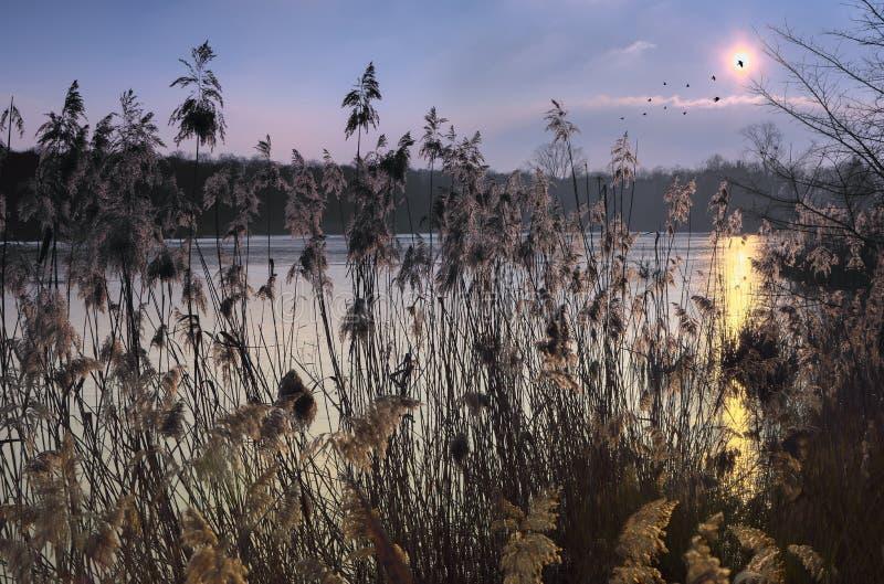 Coucher du soleil sur les roseaux image libre de droits