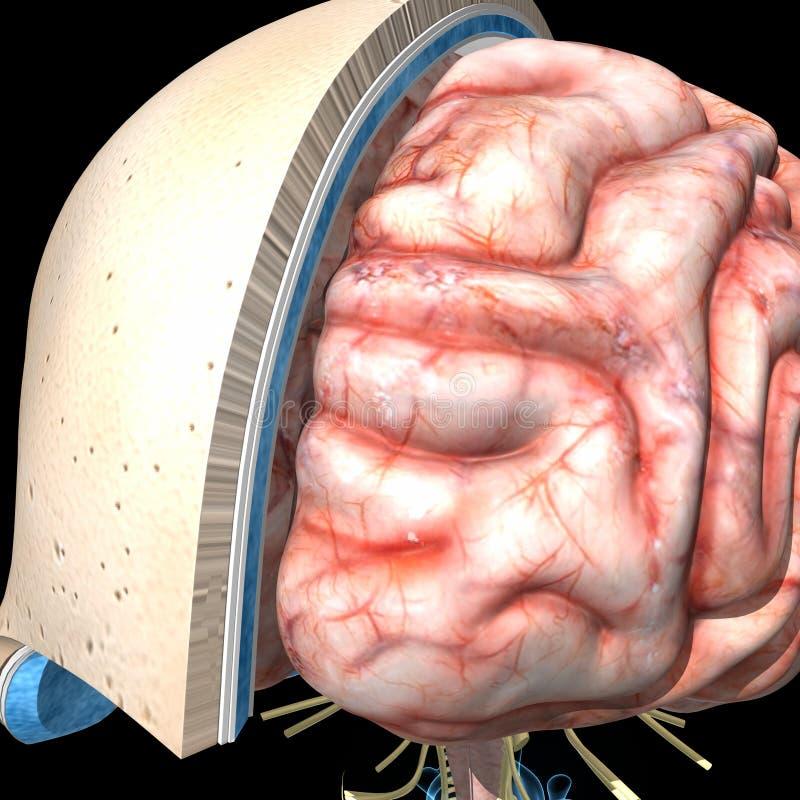 Couches et cerveau de crâne illustration de vecteur