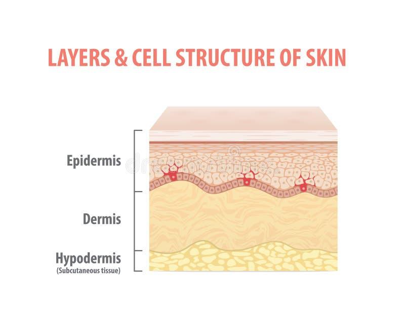 Couches et structure cellulaire de vecteur d'illustration de peau sur le CCB blanc illustration de vecteur