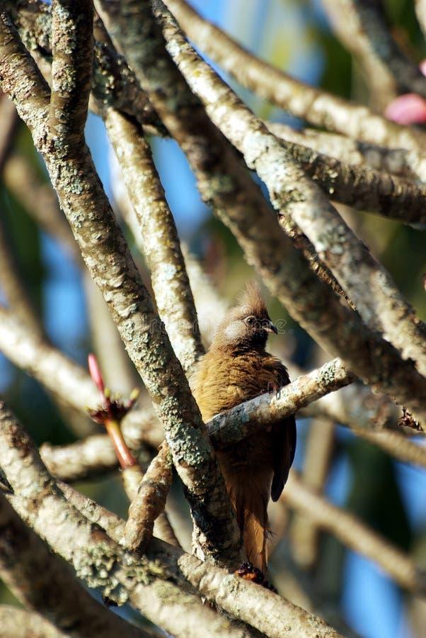 Coucou Long-tailed caché dans un arbre images libres de droits