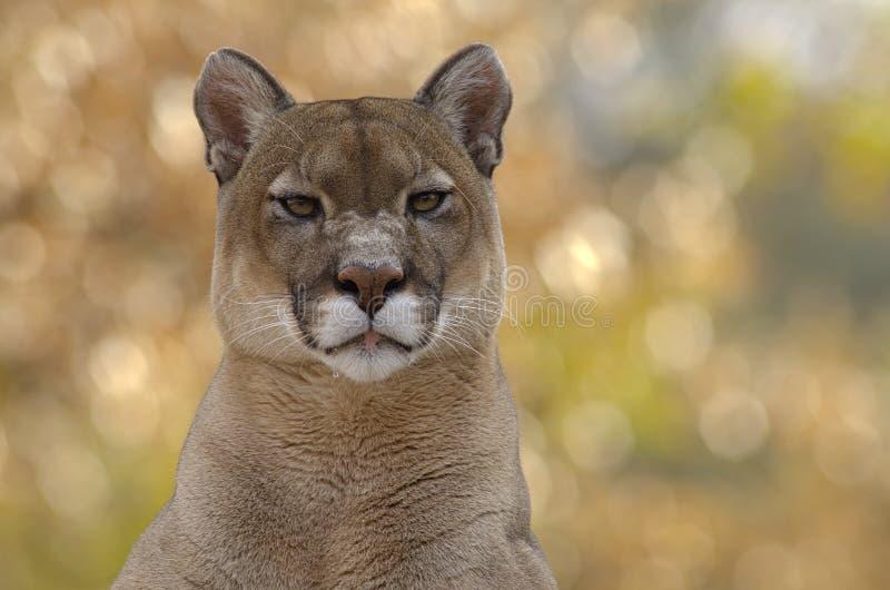cougar αρσενική συνεδρίαση στοκ εικόνες