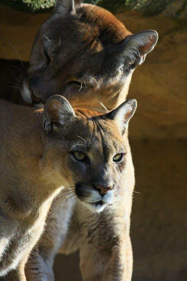 cougar ζεύγος στοκ εικόνα