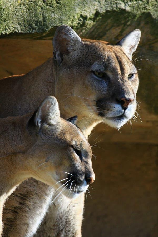 cougar ζεύγος στοκ φωτογραφία