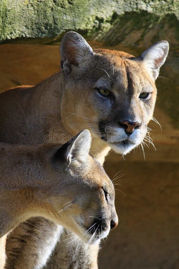 cougar ζεύγος στοκ εικόνες