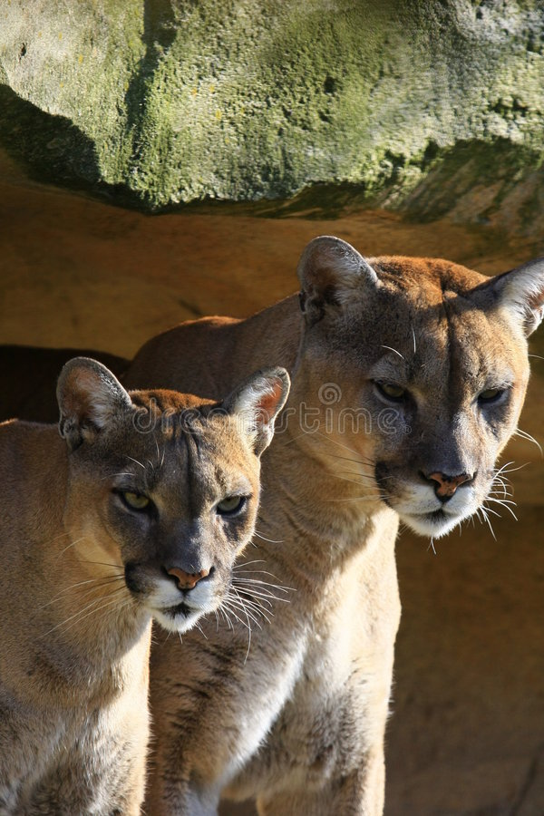 cougar ζεύγος στοκ εικόνα με δικαίωμα ελεύθερης χρήσης