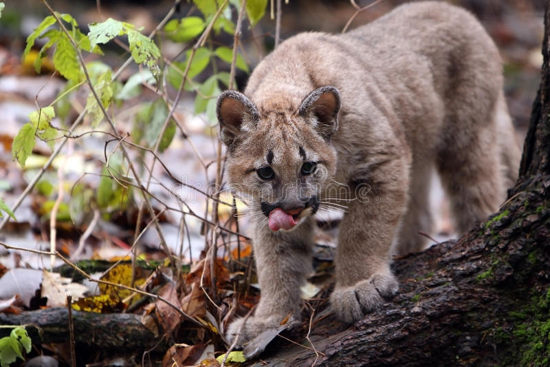 cougar νεολαίες στοκ φωτογραφίες