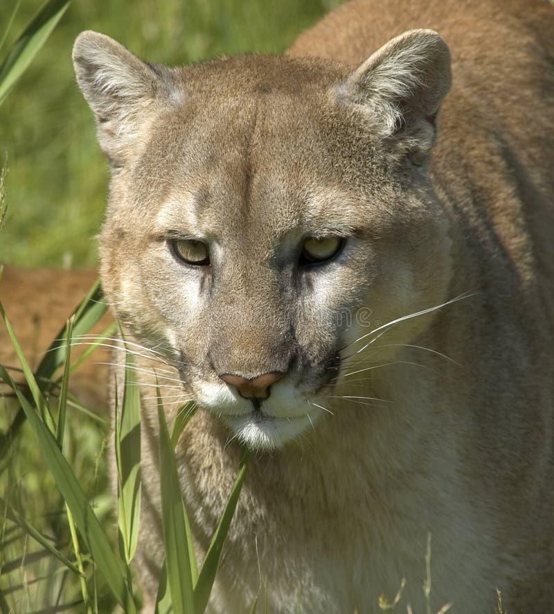cougar πορτρέτο στοκ φωτογραφίες