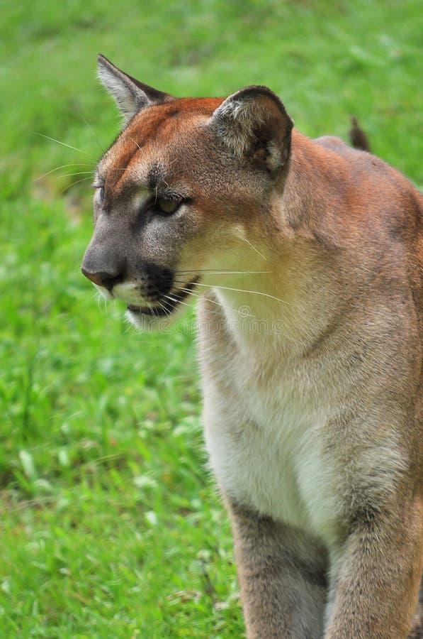 Cougar στο πράσινο backgrond στοκ φωτογραφίες
