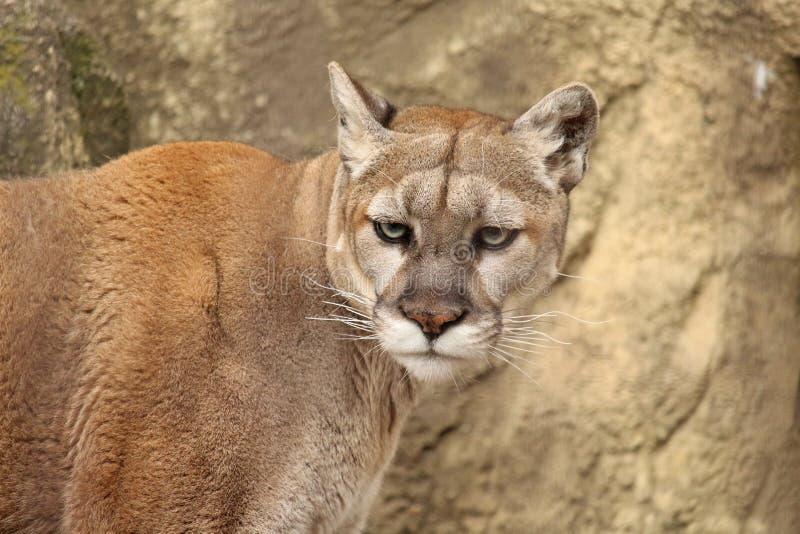 cougar royalty-vrije stock afbeelding