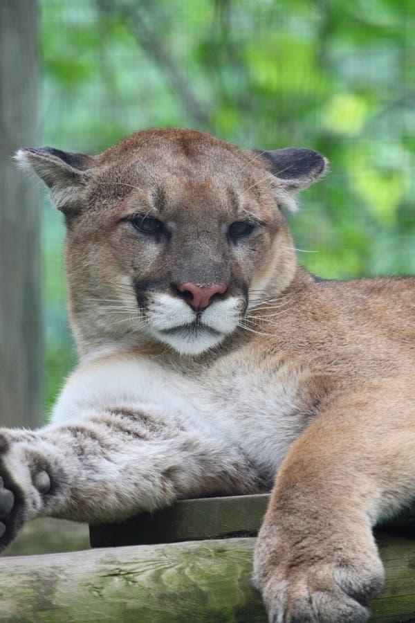 Cougar stock photo