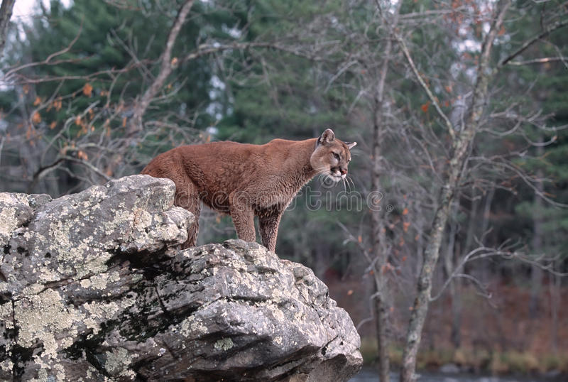 Download Cougar stock photo. Image of cougar, lion, animal, mountain - 12807418