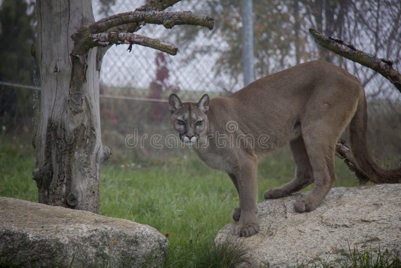 cougar stockfotos