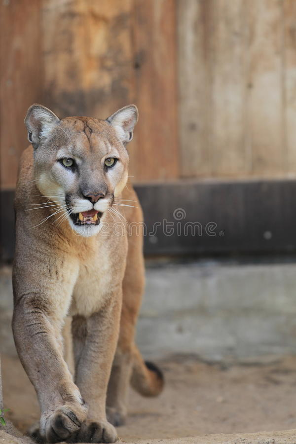 Free Cougar Stock Images - 33245514