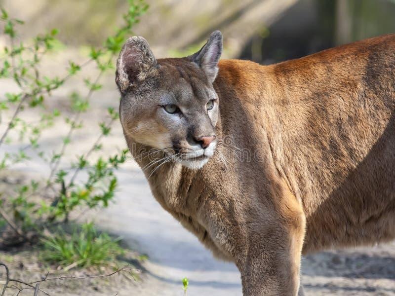 Cougar στοκ φωτογραφίες