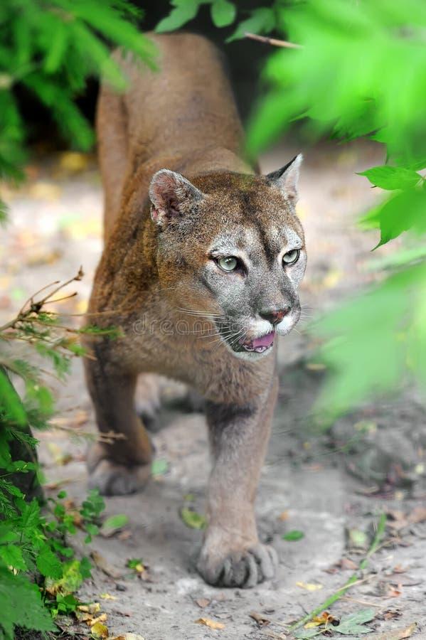 cougar στοκ φωτογραφία
