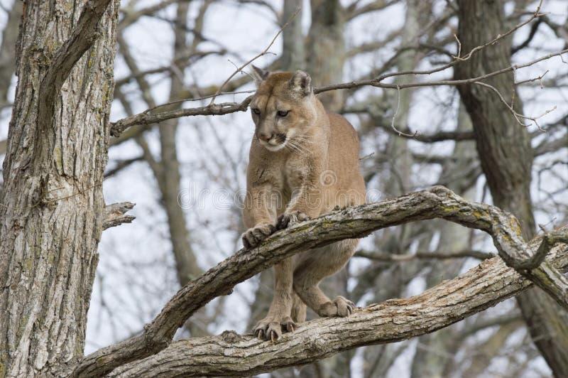 Download Cougar stock photo. Image of nature, climbing, wild, mammal - 5533134