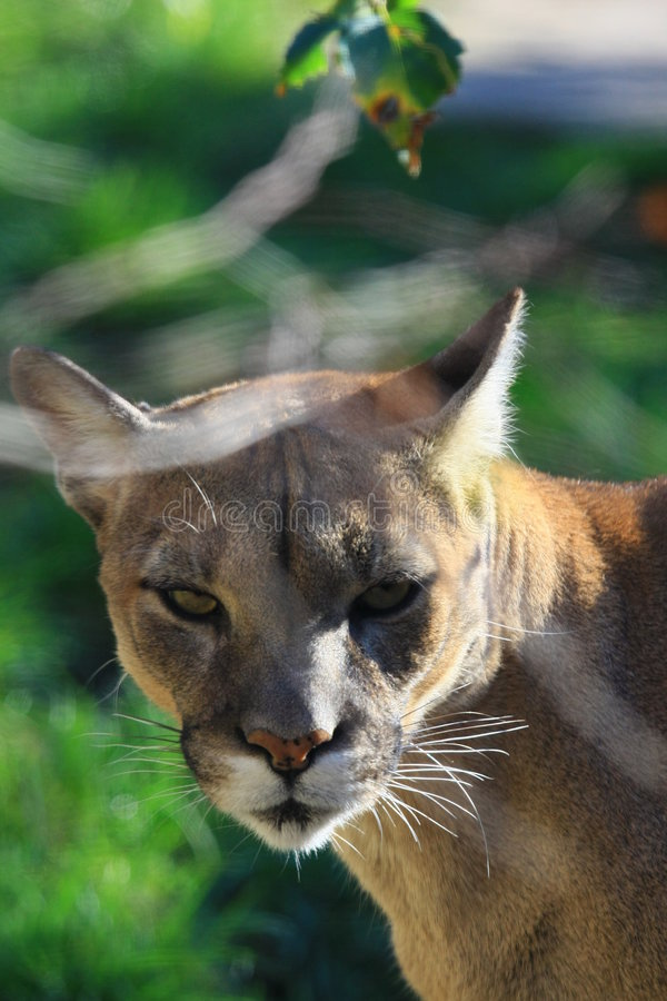 Download Cougar stock photo. Image of lion, feline, fierce, wildlife - 6969094