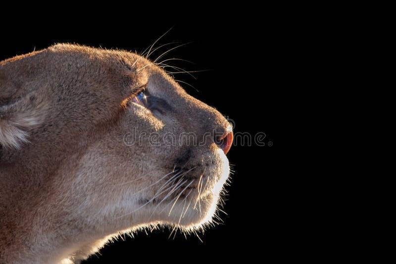 cougar stock afbeeldingen